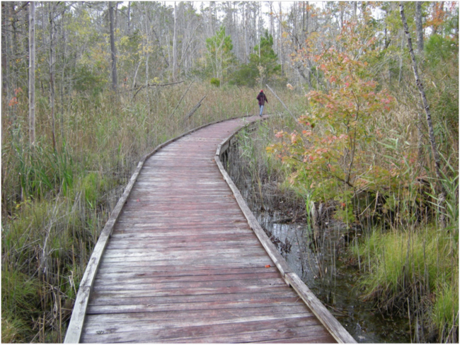 Boardwalk on the Sandy Ridge Wildlife Trail, Alligator River NWR. November 2017.