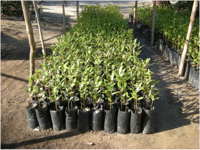 Seedlings of Aviccenia marina grown in Icidua neighborhood of Quelimane