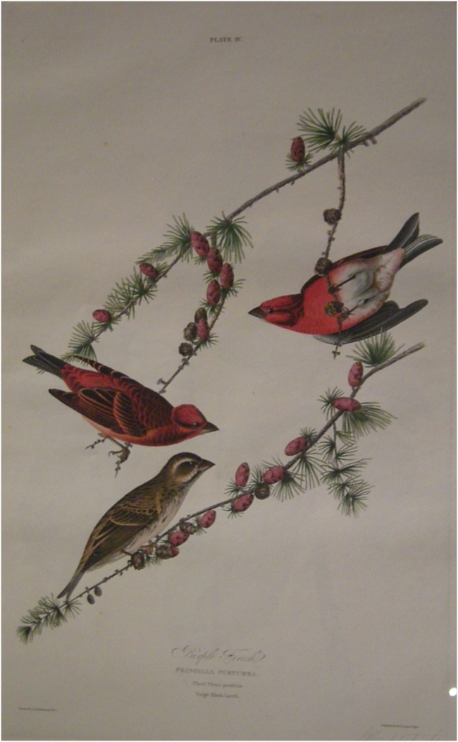 Audubon's original study of the Purple Finch (Haemorhous purpureus) for engraving by Havell, 1824. New York Historical Society, February 2018