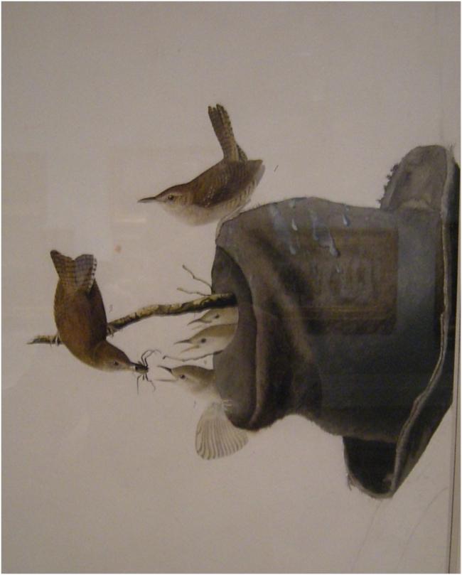 House Wren (Troglodytes aedon), study for engraving by Havell, original circa 1812 painted in Pennsylvania, New York Historical Society, February 2018