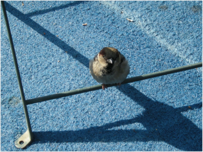 House Sparrow waiting for a handout, Bryant Park, February 2018