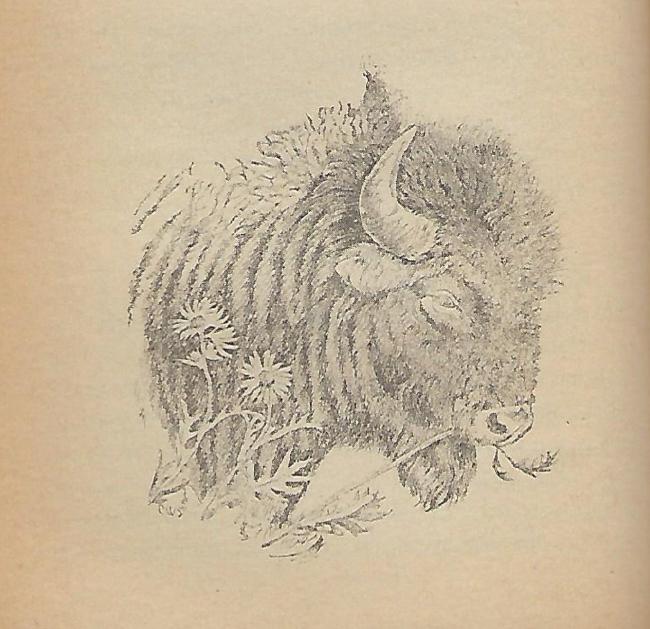 Bison nibbling Silphium.