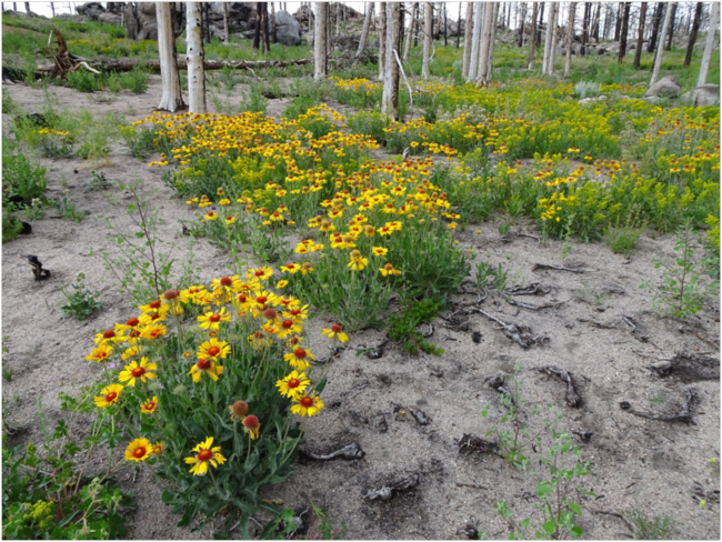 Blanketflower release in the area burned by the Cold Springs Fire, July 2018.