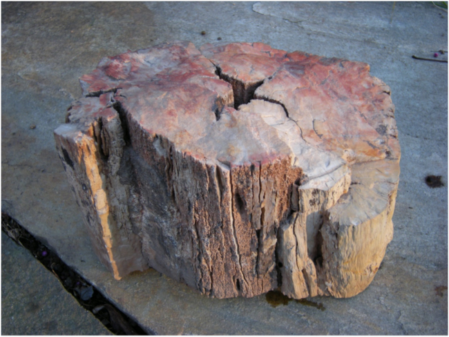 Fossil tree section from Bears Ears, Utah, with the first fossil fire scar ever described in the scientific literature.