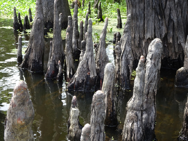 "Baldcypress ""knees"""