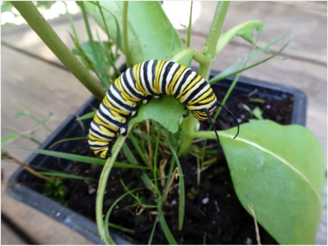 Fifth instar larval gobbling milkweed