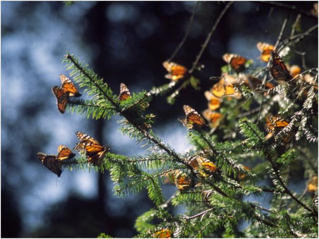 Monarchs at El Rosario Reserve, Michoacán, México. March 2004 photo.