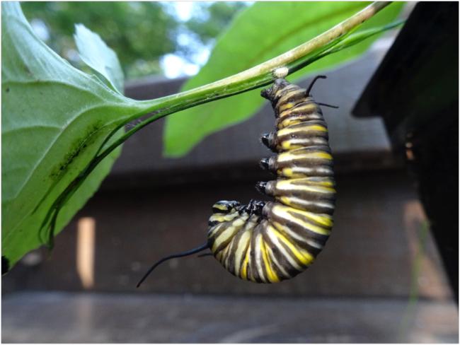 "Larva in ""hanging J"" position, September 2018"