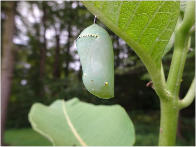 The pupa or chrysalis, a metamorphic dreamcapsule