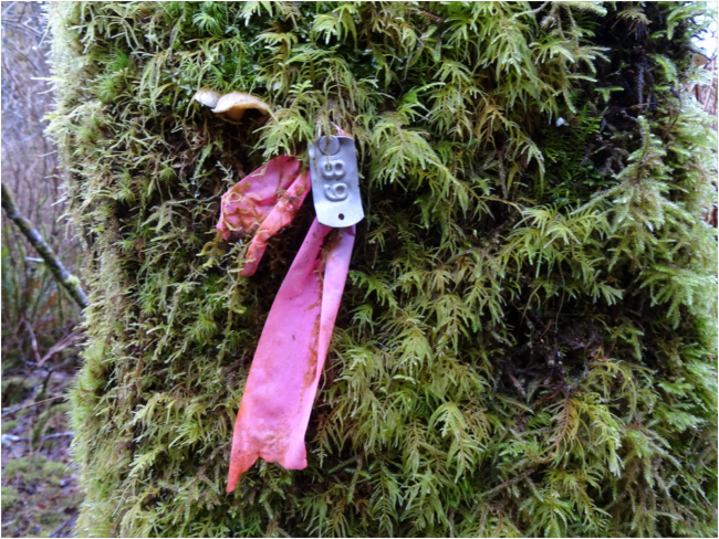 "Tree tag in the USFS Cascade Head Experimental Forest's ""alder-conifer"" study plot"
