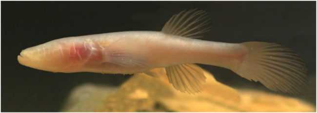 Amblyopsis spelea, the northern cavefish ((Source: Mammoth Cave Area Biosphere Reserve Periodic Review, 2016)