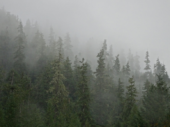 Forest above Lookout Creek in fog