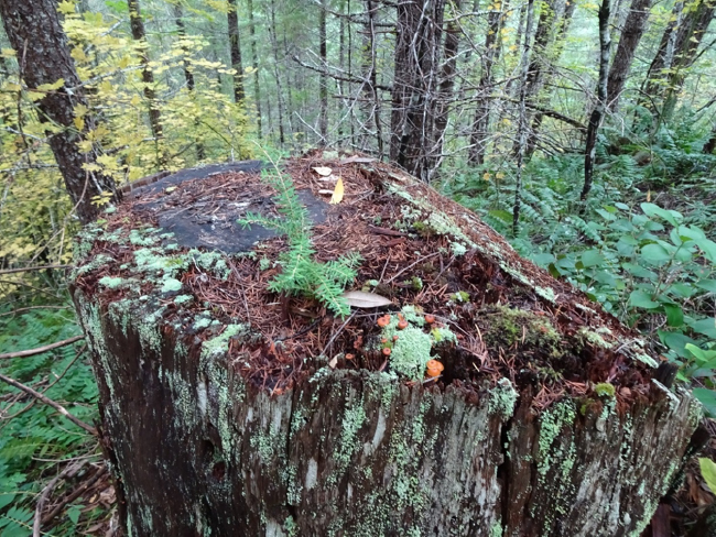 Old stump and replanted Douglas-fir forest from 1975 clearcut, Experimental Watershed #10