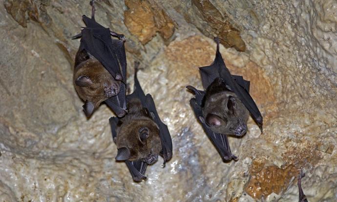 Horseshoe bats in cave
