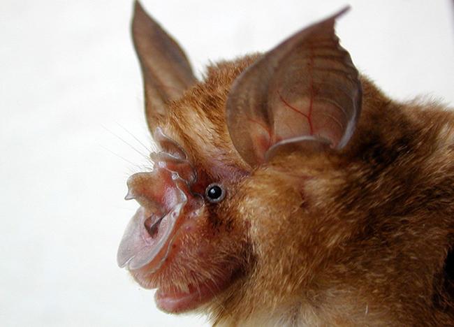Chinese rufous horseshoe bat