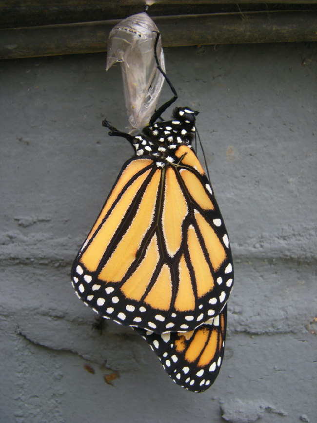 "First monarch to emerge from my monarch ""Field of Dreams"" in September 2010"