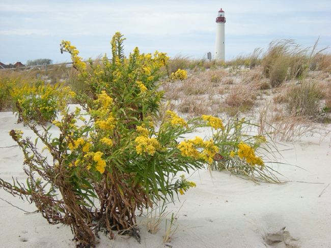 Seaside goldenrod, Cape May Point; monarch visible on lower flower directly below lighthouse. October 2012