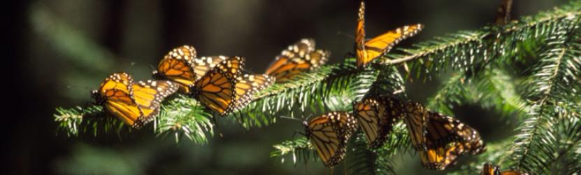 Monarchs on oyamel fir
