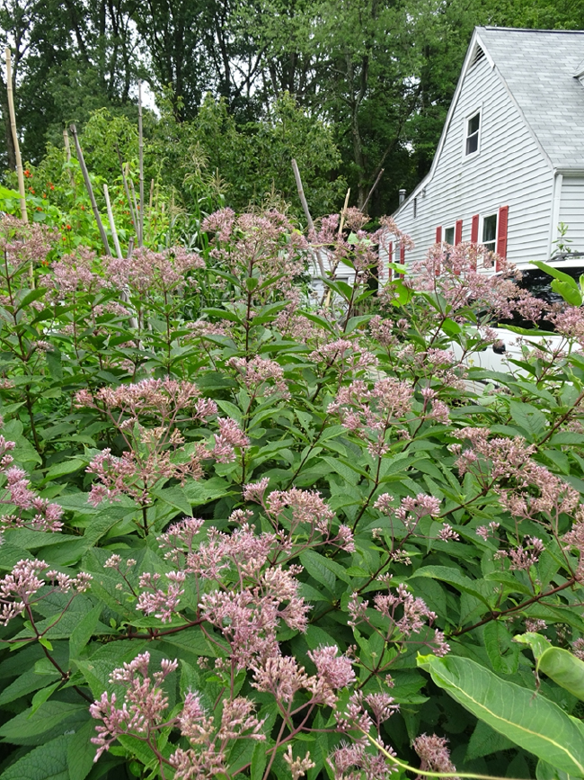 Joe-Pye Weed in my garden, August 2020