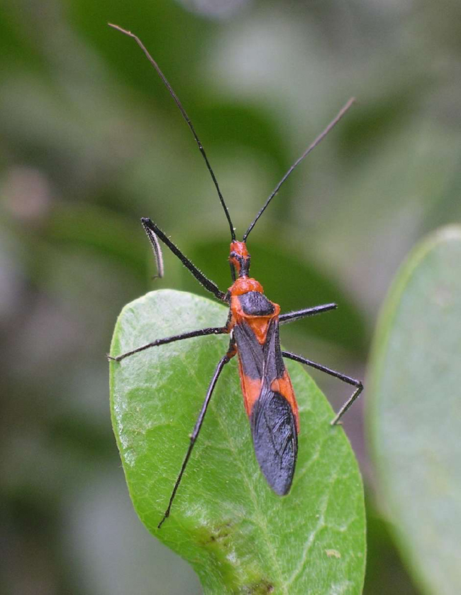 Assassin bug (Zelus longipes) (Source: Houston Chronicle)