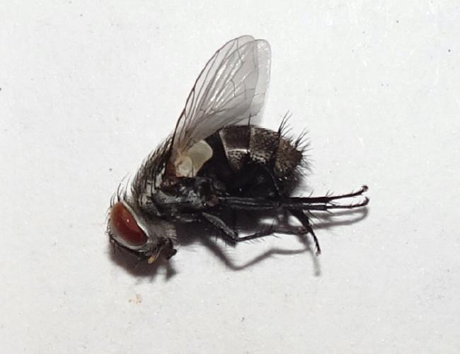 Tachinid fly, Lespesia archippivora, from a monarch larva in my aquarium