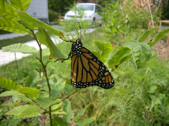First monarch resting in a seedling American chestnut by my driveway, September 2010