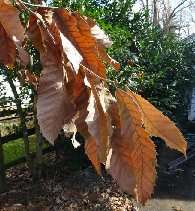 Chestnut leaves still hanging on, November 2020