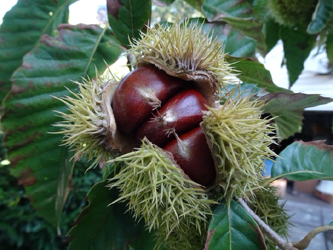 American chestnut triplets, September 2020