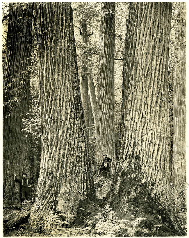 Chestnut trees in North Carolina, 1910. Photo by Sydney V. Streator, courtesy of the Forest History Society.