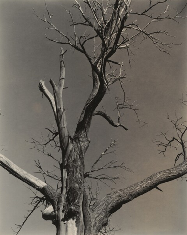 Alfred Stieglitz, The Dying Chestnut Tree, 1927.  Courtesy of the National Gallery of Art.