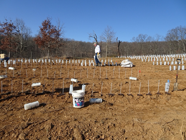 Laying out the new section of the chestnut seed orchard